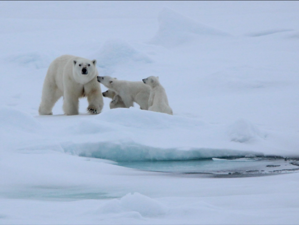 Aboard the National Geographic Explorer Ship, Morales watched phenomenons such as a family of polar bears in their natural habitat. According to Morales, it is difficult to see if the species is in danger because they are so hard to count due to how much ground there is to cover in the Arctic. Source: John Morales.